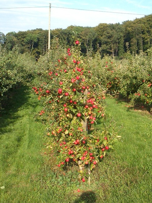 Da kriegt man direkt Hunger: Apfelbaum auf der Schönmatt